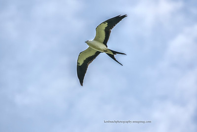 Swallow-tailed kite 0760
