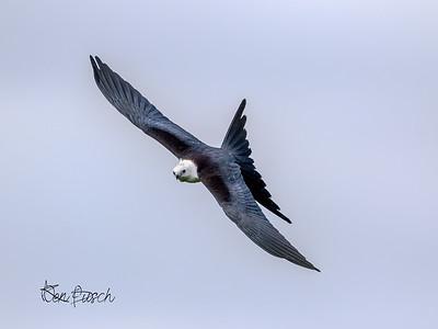 swallow tailed kite_1046