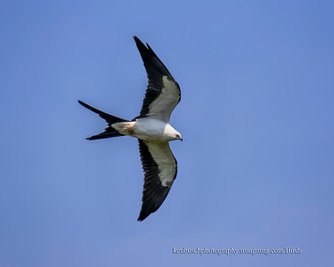 Swallow-tailed kite 1307