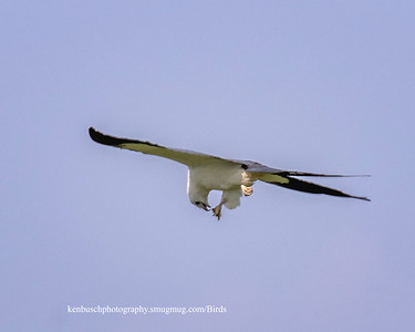 Swallow-tailed kite 0570