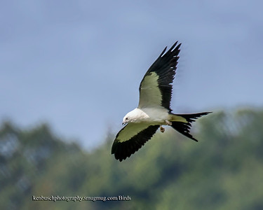Swallow-tailed kite 0591