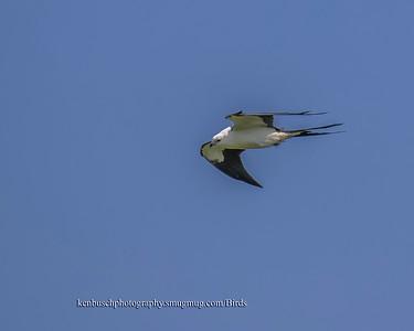 Swallow-tailed kite 1294