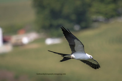 Swallow-tailed kite 0562