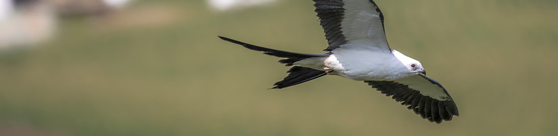 Swallow-tailed kite banner