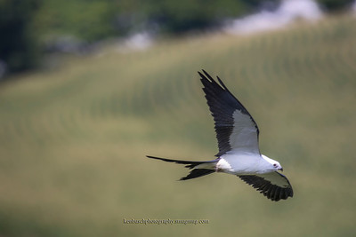 Swallow-tailed kite 0561