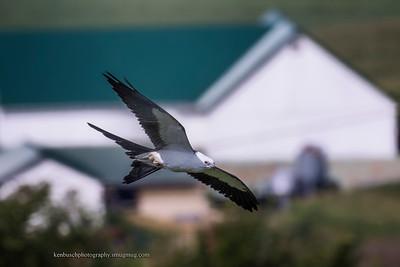 Swallow-tailed kite 0564