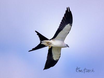 swallow tailed kite_1104