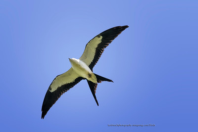 Swallow-tailed kite 0797