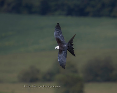 Swallow-tailed kite 0555