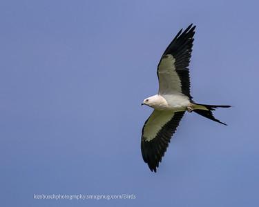 Swallow-tailed kite 0614