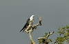 Swallow-tailed Kite perched on a high live oak branch.  Gray sky background