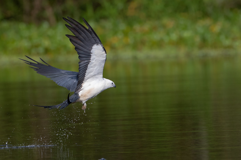 Swallowed-tailed Kite
