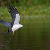 Swallowed-tailed Kite