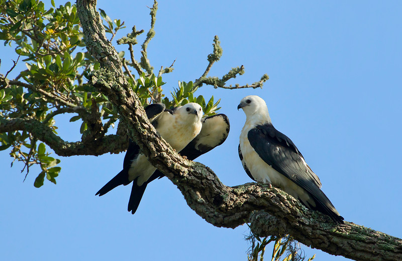 Two juveniles recently fledged.  Their tails are short and there is buff coloring on their chest and breast