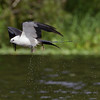 Swallow-tailed Kite - shedding some water after a quick bath