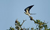 Profile pose of a Swallow-tailed Kite taking off from a high live oak perch.