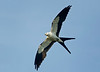 Swallow-tailed Kite banking with underwings showing.  Diagonally aligned agianst the blue sky