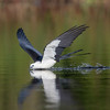 Swallow-tailed Kite skimming the water for a drink - Central Florida