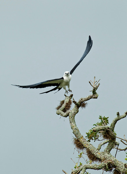 Swallow-tailed Kite taking off from a high live oak perch