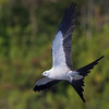 "Swallow-tailed Kite,  <a href=""http://www.klein.smugmug.com"">http://www.klein.smugmug.com</a>"