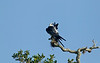 Swallow-tailed Kite preening on a high live oak branch