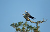 Swallow-tailed Kites mating on a high live oak branch with a blue sky background