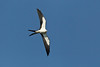 Swallow-tailed Kite banking with underwings showing against blue sky