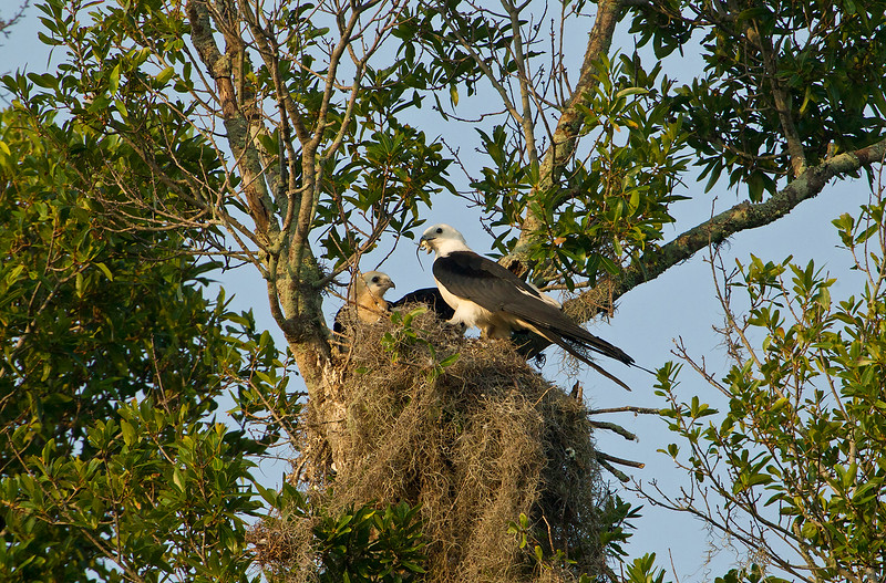 Swallow-tailed Kite adult on the nest with a lizard in her mouth. One chick is waiting to be fed.  This nest was at least 70 feet up