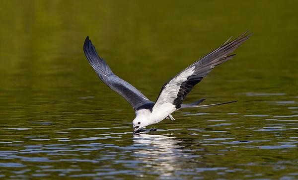 2012 Swallow-tailed Kites