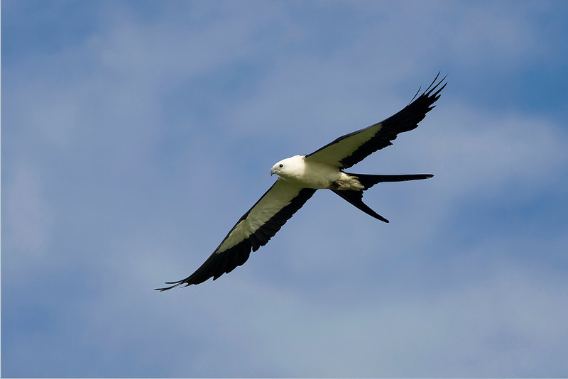 Captured against a blue sky with clouds.  The long tails identify this as an adult.