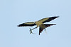Swallow-tailed Kite carrying nesting material