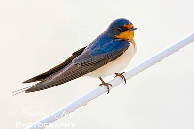 Barn Swallow_JMB3032