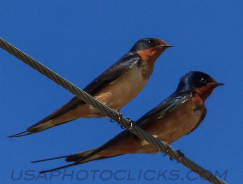 Barn Swallow (b2272)