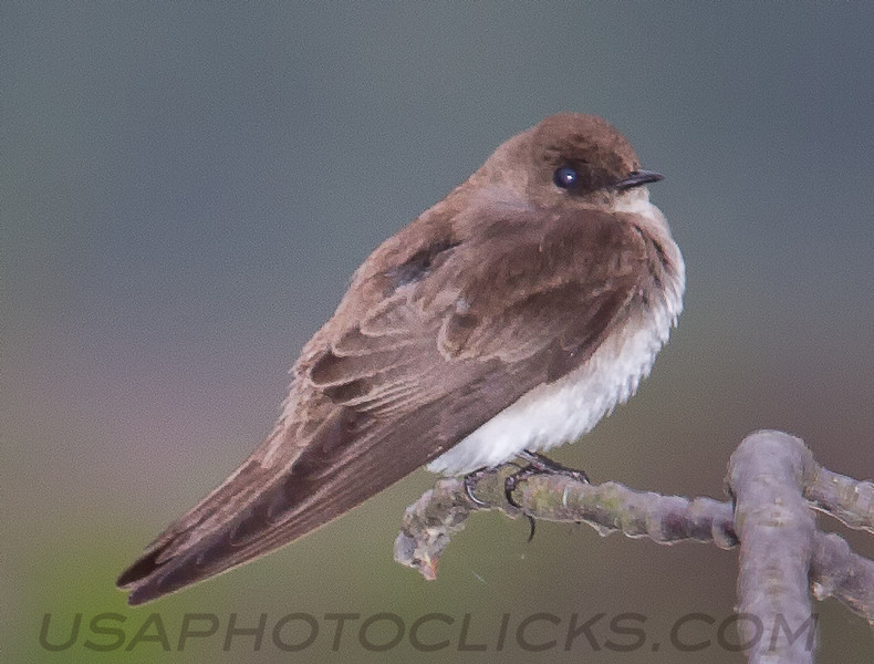 Northern Rough Winged Swallow (b2281)