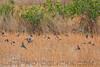 Tree Swallow (b2291)