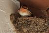 Barn Swallow (b2271)