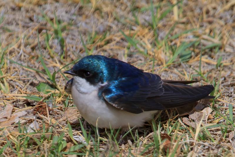 Tree Swallow (b2293)