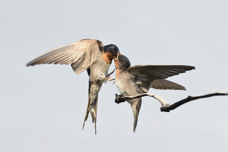 Welcome swallows (Hirundo neoxena)