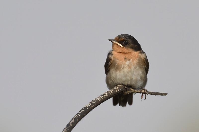 Welcome swallow (Hirundo neoxena)