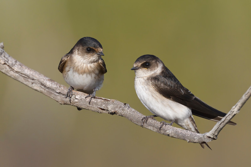 Tree Martins (Petrochelidon nigricans)
