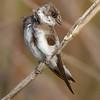 Bank Swallow