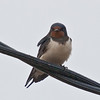 Barn Swallow (Hirundo rustica). Copyright Peter Drury 2010
