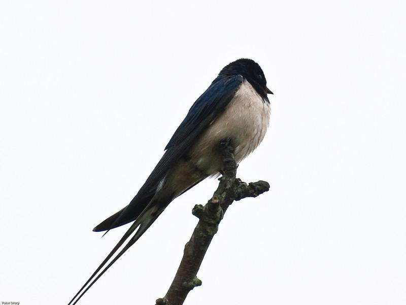 Barn Swallow (Hirundo rustica)<br /> Budds Farm Lagoon, Southmoor, Langstone Harbour