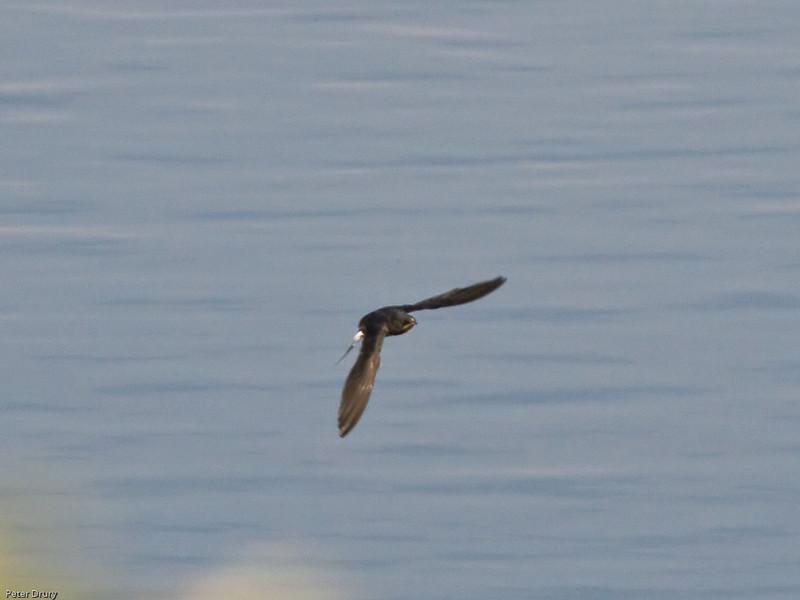 Barn Swallow (Hirundo rustica). Copyright 2009 Peter Drury<br /> Budds Farm Lagoon, Southmoor, Langstone Harbour