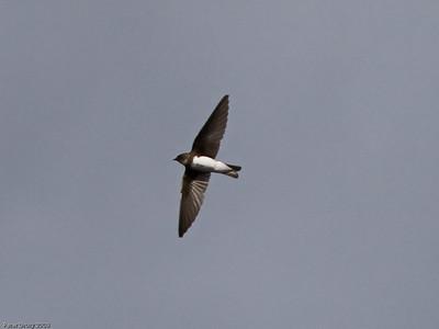Swallows and Martins (Hirundinidae)