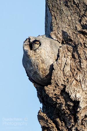 Tree Martin