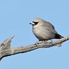 Black-faced Woodswallow (Artamus cinereus)