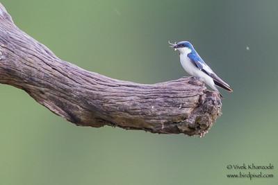 Blue-and-white Swallow - Record - Oxbow Lake Near Tambo Blanquillo Lodge, Manu Biosphere Preserve, Peru