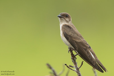 Brown-chested Martin - Amazon, Ecuador