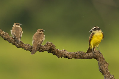 Brown-chested Martins & Great Kiskadee - Amazon, Ecuador